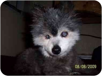 Pomeranian Mix Dog for adoption in Studio City, California - Hope