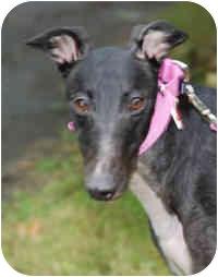 Greyhound Dog for adoption in Ware, Massachusetts - Minnie