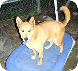 Jindo/German Shepherd Dog Mix Dog for adoption in Pasadena, California - Ray