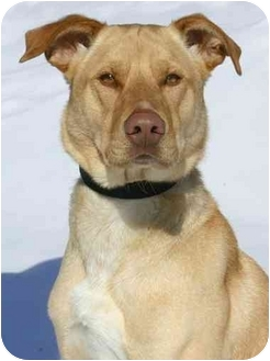 Labrador Retriever Mix Dog for adoption in Ladysmith, Wisconsin - D0703