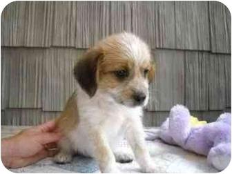 Hound (Unknown Type) Mix Puppy for adoption in Spring Valley, New York - Myra