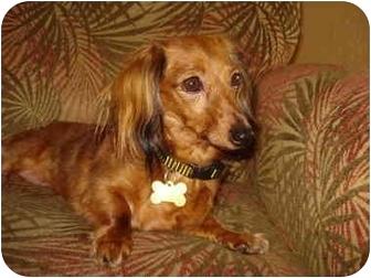Dachshund Dog for adoption in San Jose, California - Molly