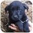Photo 2 - Labrador Retriever Mix Puppy for adoption in Portland, Maine - Oakie