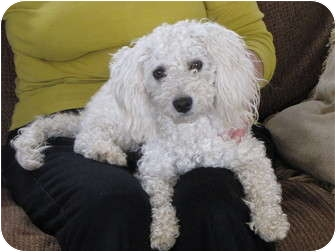 Poodle (Miniature) Mix Dog for adoption in Nuevo, California - LILLY
