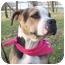 Photo 1 - American Bulldog Mix Dog for adoption in Barron, Wisconsin - Kizzy
