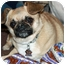 Photo 2 - Pekingese/Chihuahua Mix Dog for adoption in Lynnwood, Washington - Riesling-PENDING