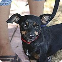Adopt A Pet :: Izzy - Phoenix, AZ