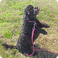 Adopt A Pet :: Gabbie - Katy, TX