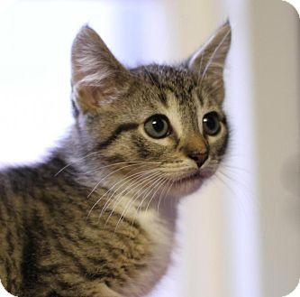 Domestic Shorthair Kitten for adoption in Winston-Salem, North Carolina - Oliver