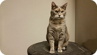 Calico Cat for adoption in Indianola, Iowa - laney