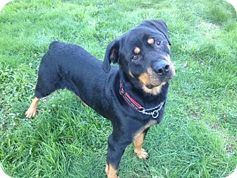 Rottweiler Mix Dog for adoption in Surrey, British Columbia - Roxie