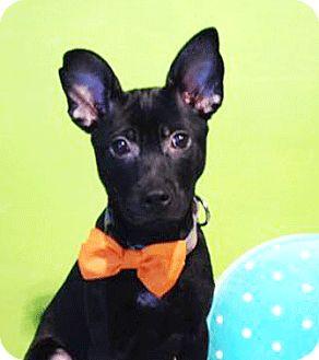 Labrador Retriever Mix Puppy for adoption in Castro Valley, California - Jacky