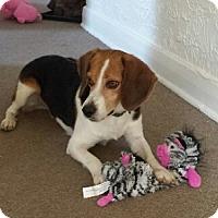 Adopt A Pet :: Boomer - Hamilton, ON