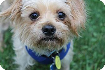 Yorkie, Yorkshire Terrier/Maltese Mix Dog for adoption in London, Ontario - Barley