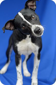 Terrier (Unknown Type, Small) Mix Dog for adoption in LAFAYETTE, Louisiana - BELLA