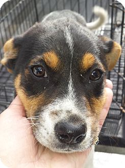 Beagle Mix Puppy for adoption in Preston, Connecticut - Rascal AD 12-03-16