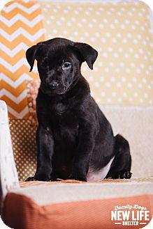 Australian Cattle Dog/German Shepherd Dog Mix Puppy for adoption in Portland, Oregon - Crush
