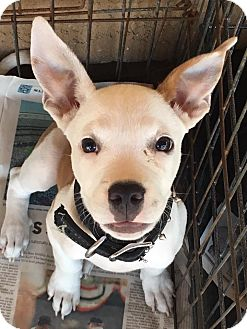 Boxer/American Pit Bull Terrier Mix Puppy for adoption in Santee, California - Jax