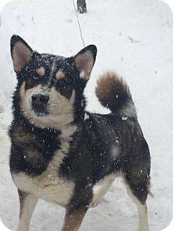 Siberian Husky Mix Dog for adoption in Shingleton, Michigan - Thunder