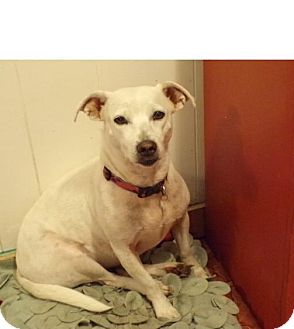 Terrier (Unknown Type, Medium)/Dachshund Mix Dog for adoption in Sterling Heights, Michigan - Bella and Blanca