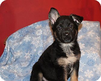German Shepherd Dog Mix Puppy for adoption in Los Angeles, California - Olivia