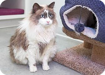 Domestic Longhair Cat for adoption in Boise, Idaho - Sophie