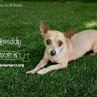 Adopt A Pet :: Freddy - Kansas City, MO