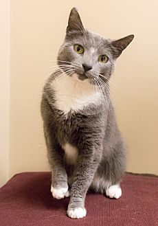 Russian Blue Cat for adoption in Chicago, Illinois - Ines