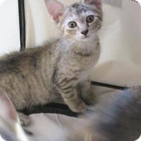 Adopt A Pet :: tiger girls - Centreville, VA
