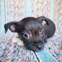 Adopt A Pet :: Avril - Fredericksburg, TX