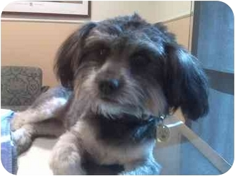 Lhasa Apso Mix Dog for adoption in Culver City, California - Izzy