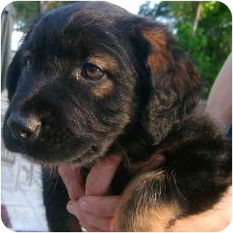 Australian Shepherd/Rottweiler Mix Puppy for adoption in Callahan, Florida - GJ