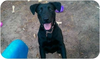 Labrador Retriever Mix Dog for adoption in kennebunkport, Maine - Twilight - Foster Needed
