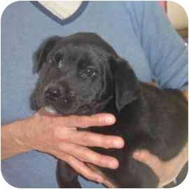 Labrador Retriever/Hound (Unknown Type) Mix Puppy for adoption in Old Bridge, New Jersey - Sasha