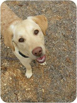 Labrador Retriever/Golden Retriever Mix Puppy for adoption in PORTLAND, Maine - Dixon