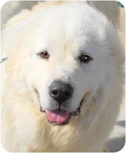 Great Pyrenees Dog for adoption in Hendersonville, Tennessee - KATHERINE the GREAT