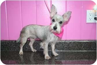 Schnauzer (Miniature)/Cairn Terrier Mix Dog for adoption in Crystal River, Florida - Clara