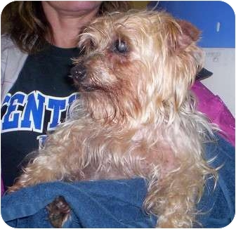 Yorkie, Yorkshire Terrier/Terrier (Unknown Type, Small) Mix Dog for adoption in Foster, Rhode Island - Bella