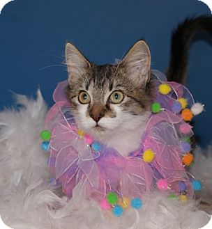 Domestic Shorthair Kitten for adoption in Flower Mound, Texas - Buttercup
