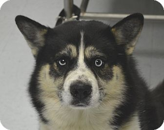 Husky Mix Dog for adoption in Morgantown, West Virginia - Fisher