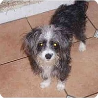 Adopt A Pet :: Misty - Houston, TX
