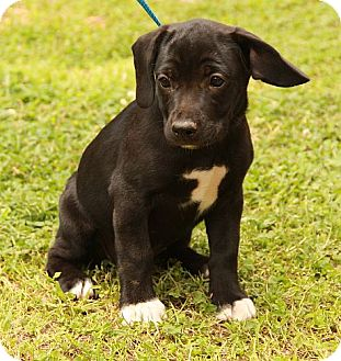 Labrador Retriever Mix Puppy for adoption in Hagerstown, Maryland - Frida