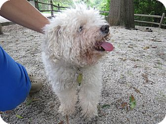 Miniature Poodle Mix Dog for adoption in Henderson, North Carolina - Eli
