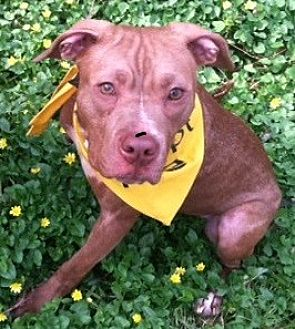 American Staffordshire Terrier Mix Dog for adoption in Newtown, Pennsylvania - Clover