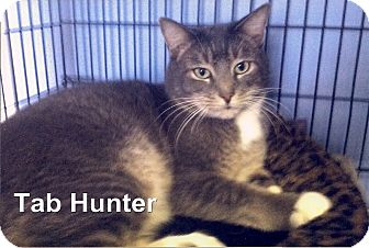 Domestic Shorthair Cat for adoption in Medway, Massachusetts - Tab Hunter