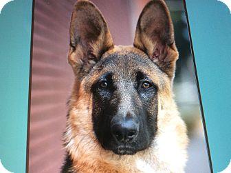 German Shepherd Dog Puppy for adoption in Los Angeles, California - ZEUS VON ZURZEN