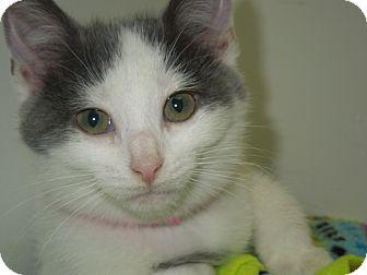 Domestic Shorthair Kitten for adoption in Medina, Ohio - Tipper