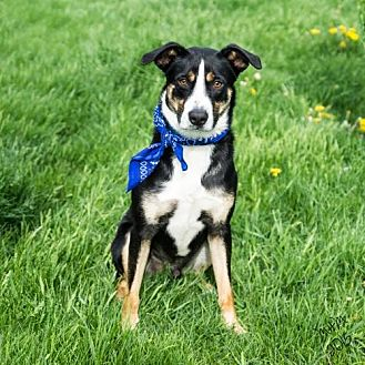 Border Terrier Mix Dog for adoption in Highland, Illinois - Max (Courtesy Listing from Naperville, IL)