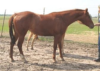 Quarterhorse Mix for adoption in Dewey, Illinois - Winnie