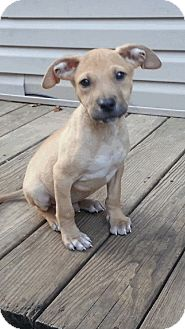 Shepherd (Unknown Type)/American Staffordshire Terrier Mix Puppy for adoption in Old Bridge, New Jersey - Rommie